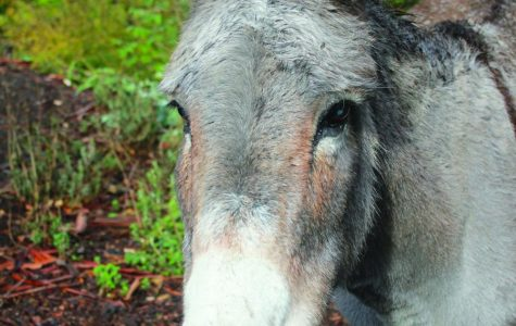 Palo Alto community bonds over Bol park donkeys